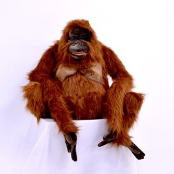 Małpa orangutan siedząca 80cm